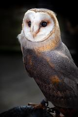 Portrait of a Barn Owl (Rich Walker75) Tags: bird birds owl owls animals nature wildlife portrait canon efs1585mmisusm eos eos80d