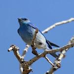 Mountain Bluebird (Sialia currucoides) thumbnail