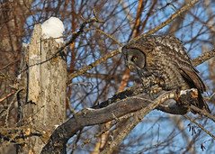 Great Gray Owl...#6 (Guy Lichter Photography - 4M views Thank you) Tags: owlgreatgray canon 5d3 canada manitoba wildlife animal animals bird birds owl owls