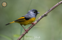 Golden-breasted fulvetta  (Lioparus chrysotis) (Biswajit Ghosh'76) Tags: ngc bird small cute yellow india himalayan