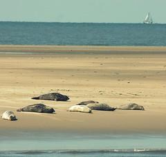 Seal Watching (yorkiemimi) Tags: northsea nordsee germany seal animal nature sea boat sandbank meer seehund wasser water
