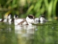 Common Shelduck (Tadorna tadorna) (danielowen2000) Tags: panasonic lumixdmcfz200 danielowen2000 danielowen wwt wwtmartinmere lancashire shelduck commonshelduck tadorna tadornatadorna duckling