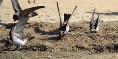 Mud Grub (Jim Farley) Tags: cliff swallow petrochelidon pyrrhonota margarita football field camp pendleton ca 22 june 2018