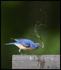 Explosion (Nikon66) Tags: easternbluebird bluebird worm explosion shawnaturereserve snr graysummit missouri nikon d850 600mmnikkor platinumheartaward