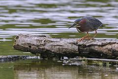 green heron july 2 2018 (Mel Diotte) Tags: green heron water bird hunter wild nature mel diotte explore nikon d500
