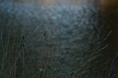 Wind and water (Marilely) Tags: wind water wasser blue grass gras halme stems ripples bokeh
