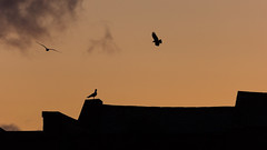 Birds at sunset (pepsamu) Tags: limerick sunset sky birds animals canon canonistas 60d canon60d flying standing bird pájaros ocaso puestadesol atardecer silueta silhouette outline ireland eire irlanda 2018 may spring primavera mayo 55250
