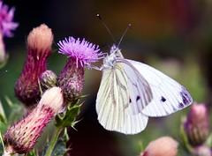 Green-veined White  (Pieris napi) - Taken at Barnwell CP, Nr. Oundle, Northants. UK. (Ian J Hicks) Tags: