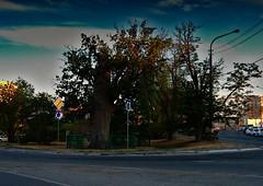 500-Year-Old-Oak-2 (DementyD) Tags: city astrakhan oak acorn street город астрахань дуб желуди улица gate tree park grass