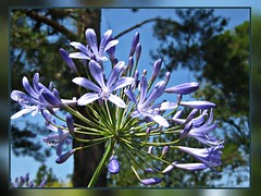 Symphony of Life (TonyFernando) Tags: blue agapanthus flower plant macro garden outdoors lily nile