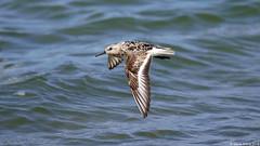 Sanderling (Calidris alba) in flight (Steve Arena) Tags: racepointpoint sanderling calidrisalba massachusetts racepoint barnstablecounty provincetown 2016 nikon d750 bird birds birding capecod