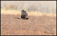 "_45A4508 ""On the Hunt"" Northern Harrier  ©Dancing Snake Nature Photography (Dancing Snake Nature Photography) Tags: arizona nature photography dancingsnakenaturephotographybirds raptors northernharrier cochisecounty"