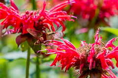 07122018-197-1 (Bill Friggle Photography) Tags: hummingbirdmoth moth hummingbird flight flower flowers flying fast challenging nikon nikond600 nikon200500 200500 500mm nature bugs
