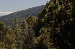 Spain Tenerife / Street TF 24 (h_j.sauermann2021) Tags: 2017 20171215spainteneriffa spain tenerife teneriffa sun sonne holiday urlaub landscape landschaft light licht colours farben bright hell sky himmel blau blue parquenacionaldelteide berg mountain kiefern pinetrees baum tree wald fores