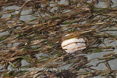 A sand dollar is left high and dry among the #seaweed at low tide  #seashores #lowtide #at Rathrevor Beavh Provincial Park in Parksville, BC (Norm-Hamilton) Tags: lowtide seaweed seashores
