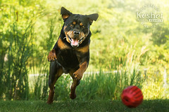 Picture of the Day (Keshet Kennels & Rescue) Tags: rescue kennel kennels adoption dog ottawa ontario canada keshet large breed dogs animal animals pet pets field tree forest nature photography rottweiler play summer