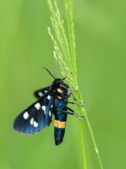 Amata phegea - melkdrupje (de_frakke) Tags: vlinder mariposa schmetterling butterfly