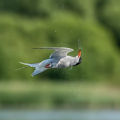 Tern (Distinctly Average) Tags: phillluckhurst distinctlyaverage wwwdistinctlyaveragecouk wildlife buckinghamshire bucks bbowt westonturville reservoir tern commontern water canon 7dmark2 handheld 100400ii