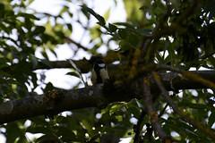 DSC_5443 (samyderni) Tags: d7100 nikon fx dx tamron 70300 70300mm sp vc usd af di f456 456 test jpg jpeg crop belgium belgique hainaut gadin mont sur marchienne montigny le tilleul oiseaux oiseau bird birds