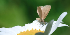 Having a Snack (willmann_f) Tags: eifel nature insects macro green flower small world full frame sony alpha