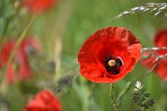 Coeur de coquelicot (Excalibur67) Tags: nikon d750 sigma contemporary globalvision 100400f563dgoshsmc flowers fleurs coquelicots poppies rouge red