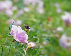 Rose and Bumble Bee (eric robb niven) Tags: ericrobbniven scotland bumble bee dundee rose wild life nature flowers botanic gardens