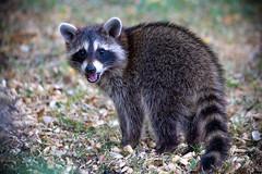 140A8357 (Ricky Floyd) Tags: raccoon canon
