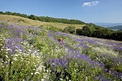 Y a-t-il une Margot dorée? (Franco Vannini) Tags: goldenretrievers tuscany toscana broom ginestre viamaggio lavender lavanda margherite daisies