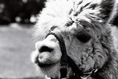 imm024_25A (A Clockwork Symphony) Tags: alpaca fp4plus ilford canon eos5 monochrome blackwhite
