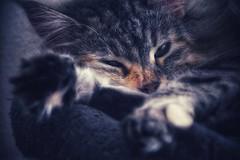 tranquility (***étoile filante***) Tags: cat katze calm ruhe emotions soul soulful animal tier macro closeup nahaufnahme nikon