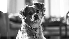 IMG_8320 (Desmojosh) Tags: canon eos m 50mm f18 nj mount laurel dobby dog pet puppy bw black white portrait bokeh