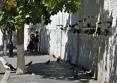 Swelter (DementyD) Tags: pigeons heat summer street city astrakhan голуби жара лето улица город астрахань