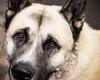 Loyal Friend (nick.onwardsmedia) Tags: animal dog eyes fur japaneseakita koto loyal pet portraiture