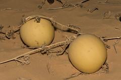 Desert squash or gourd (Citrullus colocynthis) (Ron Winkler nature) Tags: desert squash gourd citrulluscolocynthis citrullus colocynthis plant fruit asia israel flora nature 100mm canon