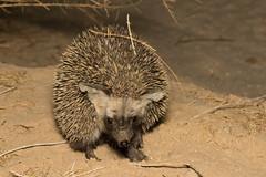 Desert hedgehog (Paraechinus aethiopicus) (Ron Winkler nature) Tags: paraechinusaethiopicus paraechinus aethiopicus nocturnal insectivore mammal mammals mammalia desert israel asia canon 100mm macro animal wildlife nature 7dii