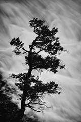 Bow Falls Bonsai (Mark Heine Photos) Tags: monochromemountains longexposure canadian banff markheine explorealberta travelalberta rockymountains alberta mountains tonesofplace canada bowfalls blackandwhite bowriver rockies