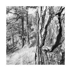 La Palma - Lights & Shadows #1 (memories-in-motion) Tags: lapalma kanaren island blackandwhite mono black white squre nature landscape canon mood tree bark pine forest canaryislands balance tse24mmf35lii tilt shift 24mm