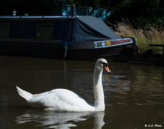 Swan. (Lee1885) Tags: canal swan natur water boat union narrowboat sailing sun swim shropshire