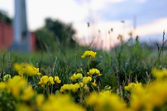 On the Side ... (Haytham M.) Tags: green flowers grass outdoors outdoor plant yellow afternoon walk stroll