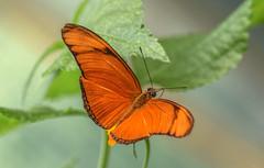 Júlialepke (Dryas iulia) (Torok_Bea) Tags: júlialepke dryasiulia insecta nymphalidae lepke pillangó beautiful orange nikon nikond7200 d7200 sigma sigma105 heliconiinae butterfly