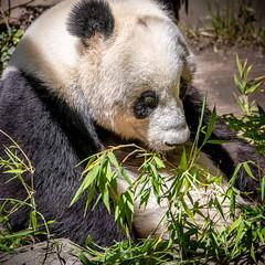 Tummy Full of Boo (helenehoffman) Tags: giantpanda bamboo bear xioliwu conservationstatusvulnerable nature ursidae sandiegozoo closeup carnivore mammal ailuropodamelanoleuca china animal