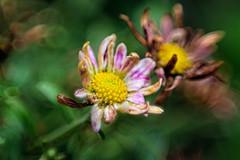 (Joz3.69) Tags: pentax kr pentaxkr pentaxa smcpentaxa50mm12 50mm 50mmf2 f2 reversering flower softfocus macro closeup flowers rawtherapee gimp