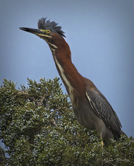 Green Heron Perched in Cedar (stevebfotos) Tags: select greenheron greatmarsh delawarebay lewes de shorebirds canary creek