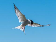Arctic Tern (Maria-H) Tags: england unitedkingdom gb arctictern sternaparadisaea innerfarne farneislands northumberland northumbria uk olympus omdem1markii panasonic 100400