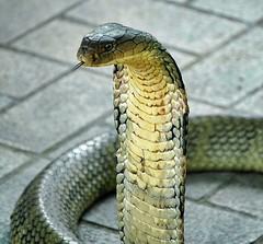 King cobra (Steve4343) Tags: steve4343 king cobra snake snakes captured bangkok farm downtown thailand green blue orange red yellow floor pattern
