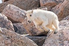 Mountain Goat kid bounds by - Sequence - 13 of 17