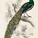 The Naturalist's Library by Sir William Jardine (1836), a majestic male peafowl portrait. Digitally enhanced from our own original plate.