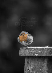 The Rain is Back (Stevie Toye) Tags: flickr nikon donegal bird nature bw ireland wildlife robin red beauty character attitude
