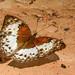 Harma theobene (Angular Glider) Female (B00007, GH0002B) (Butterflies in Still Air) Tags: ashantiregion 迦納 gh