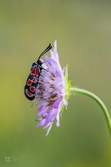 Zygaena carniolica (lubo.krupa) Tags: 500px butterfly butterflies red dot dots purple flower green detail macro close up closeup wildlife nature summer lepidoptera entomology